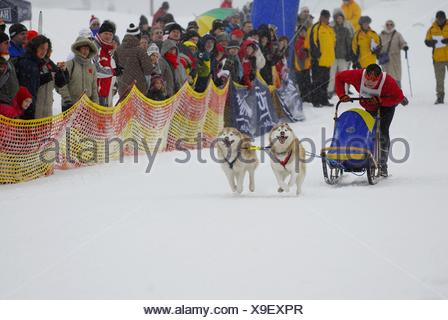 dog sledding - Stock Photo
