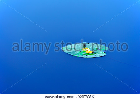 Water Lily (Nymphaea) in the water, leaf - Stock Photo