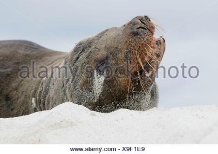 California Sea Lion (Zalophus wollebaeki), Espanola Island, Galapagos, Ecuador, South America - Stock Photo
