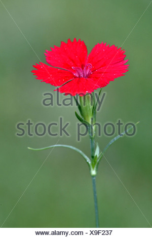 Sweet William (Dianthus barbatus), flowers, Heddesheim, Baden-Wuerttemberg, Germany, Europe - Stock Photo
