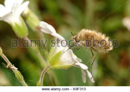 Be-fly (Bombylius spec.), sucks nectar from a flower, Germany - Stock Photo
