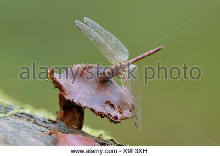 vagrant sympetrum (Sympetrum vulgatum), with morning dew, sitting on a mushroom, Germany - Stock Photo