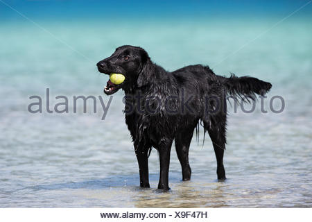 Flat-Coated Retriever, black, standing in water and chewing on tennis ball, Tyrol, Austria - Stock Photo