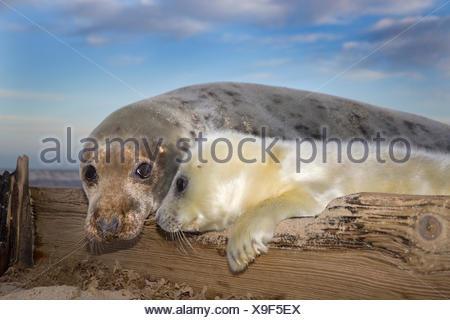 Grey Seal - Halichoerus grypus - Stock Photo