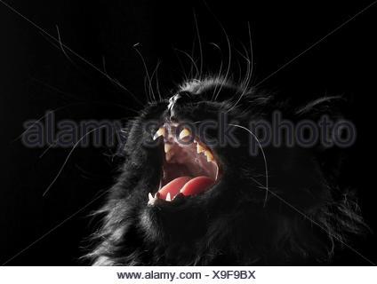 black persian cat on black background - Stock Photo