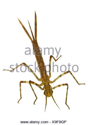 Banded Demoiselle - Calopteryx splendens - larvae - Stock Photo