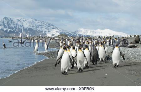 King penguins, Aptenodytes patagonicus, walk along the shore of Salisbury Plain. - Stock Photo