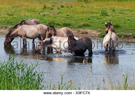 Group of drinking and bathing male konik horses (Equus przewalskii f. caballus) in the water, stallions, tarpan or wild horse - Stock Photo
