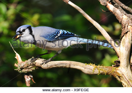 blue jay (Cyanocitta cristata), foraging, with feed in its bill, Canada, Nova Scotia - Stock Photo
