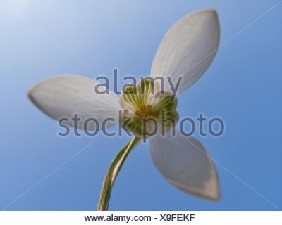 common snowdrop (Galanthus nivalis), flower from below, Germany - Stock Photo