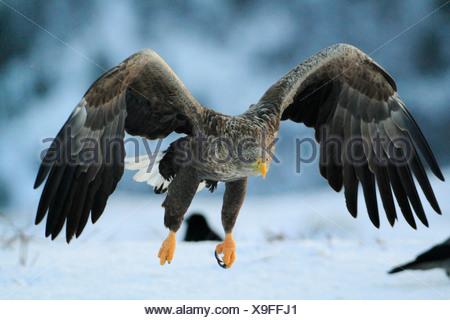 White-tailed eagle in winter,  co Trøndelag, Norway - Stock Photo