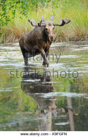 moose, elk (Alces alces), bull elk walking through a pond, Germany - Stock Photo