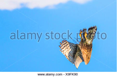 northern goshawk (Accipiter gentilis), nose diving, Germany, Bavaria, Niederbayern, Lower Bavaria - Stock Photo