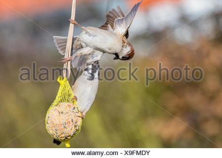 Feldsperling, Feldspatz (Passer montanus), kaempfen um Meisenknoedel, Deutschland, Bayern, Niederbayern | Eurasian tree sparrow  - Stock Photo