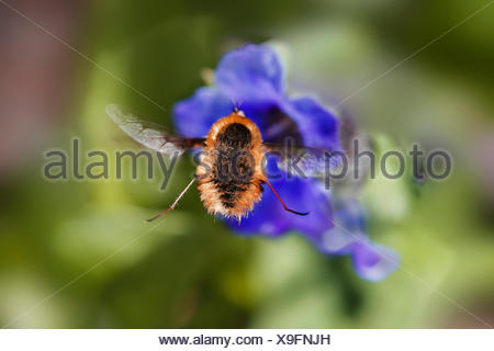 Large bee-fly (Bombylius major), on a blue flower, Germany