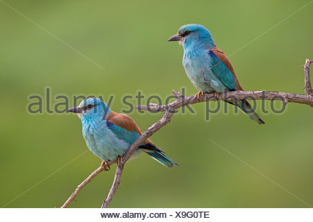 European Roller (Coracias garrulus), pair, North Bulgaria, Bulgaria - Stock Photo