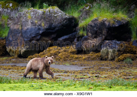 Brown bear walking on tidal flat at low tide with large boulders in background, Prince William Sound, Southcentral Alaska - Stock Photo