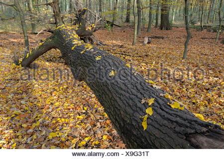 Fallen Oak, Beech forest in autumn, Bottrop, North Rhine-Westphalia, Germany - Stock Photo