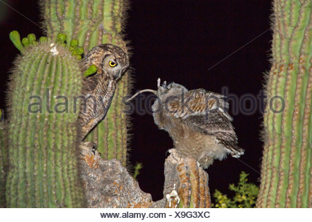 great horned owl (Bubo virginianus), adult bird feeding a young bird with a small mammal at the nest in the Saguaro, USA, Arizona, Phoenix - Stock Photo