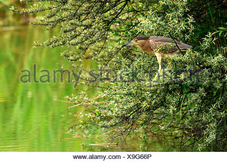 Young Black-Crowned Night Heron (Nycticorax nycticorax) on the lookout, sitting in tree, on the prowl, Canton of Valais - Stock Photo