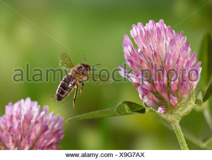 Honeybee (Apis mellifera) taking-off from red clover, controlled conditions. - Stock Photo