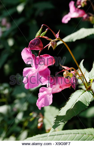 Impatiens glanulifera, Balsaminaceae imported pest displacing endemic species in many places