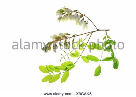 Black Locust or False Acacia (Robinia pseudoacacia - Stock Photo
