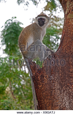 Black faced Vervet Monkey in Yellow Barked Acacia tree in Amboseli National Park Kenya East Africa - Stock Photo