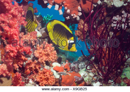 Red Sea racoon butterflyfish with soft corals on reef.  Egypt, Red Sea. - Stock Photo