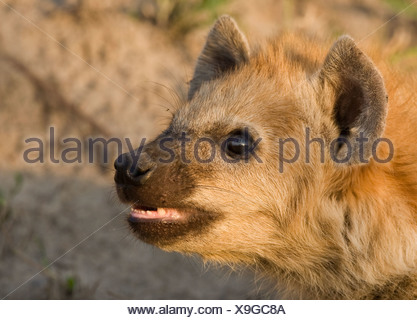 Close up of Spotted Hyaena, Greater Kruger National Park, South Africa - Stock Photo