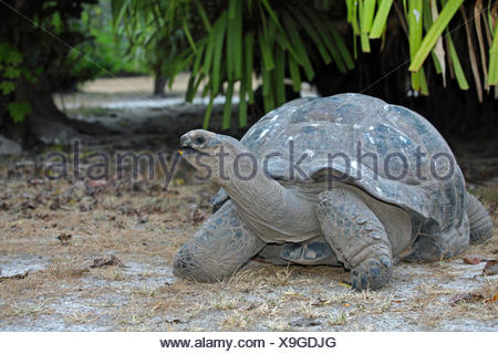 Seychelles giant tortoise, Aldabran giant tortoise, Aldabra giant tortoise (Aldabrachelys gigantea, Testudo gigantea, Geochelone gigantea, Megalochelys gigantea), in habitat, Seychelles, Bird Island - Stock Photo
