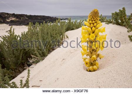 Yellow Broomrape (Cistanche phelypaea) flowering, parasitic on Chenopodiaceae, growing on coastal sand dune habitat, Lanzarote, - Stock Photo