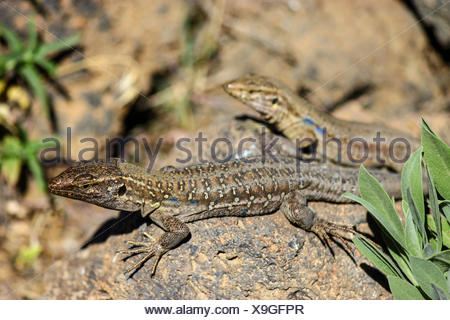 Two Tenerife Lizards or Western Canaries Lizards (Gallotia galloti) basking on a rock, Tenerife, Canary Islands, Spain - Stock Photo