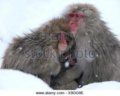 Japanese macaque (Macaca fuscata) family huddled together for warmth on a cold day, Jigokudani, Joshinetsu Kogen NP, Nagano, Japan - Stock Photo