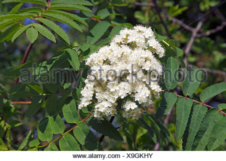 Flowering European Rowan, Mountain Ash, leaves and flowers (Sorbus aucuparia) - Stock Photo