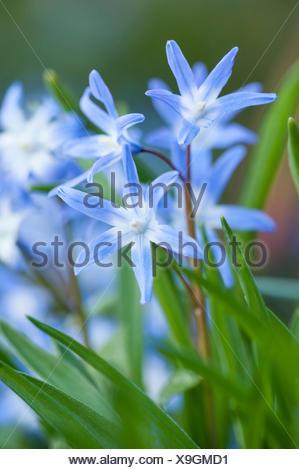 Schneeglanz, Schneestolz, Sternhyacinthe, Gewoehnliche Sternhyazinthe (Chionodoxa luciliae, Scilla luciliae, Chionodoxa luciliae - Stock Photo