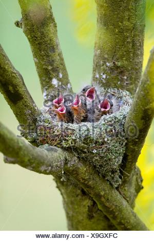 chaffinch (Fringilla coelebs), in nest, calling, Germany, Rhineland-Palatinate - Stock Photo