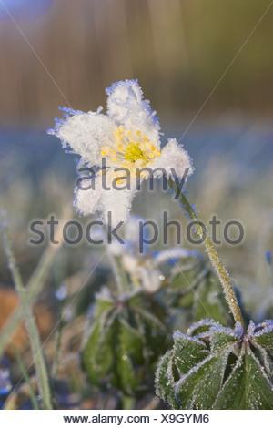 wood anemone (Anemone nemorosa), with whitefrost, Germany, Bavaria - Stock Photo