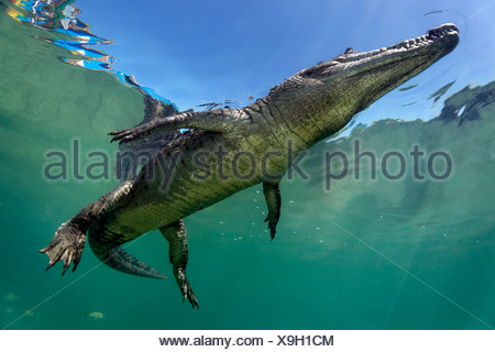 Saltwater Crocodile or Estuarine Crocodile or Indo-Pacific Crocodile (Crocodylus porosus), underwater, swimming close to surface - Stock Photo