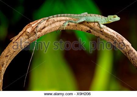 green basilisk, plumed basilisk, double-crested basilisk (Basiliscus plumifrons), sitting on an aerial root - Stock Photo