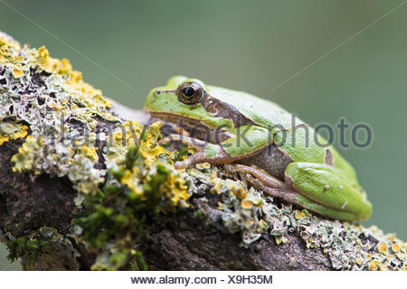 Tree frog (Hyla arborea) on mossy branch, Rhineland-Palatinate, Germany - Stock Photo