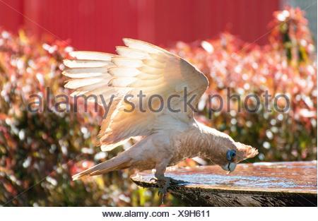 bare-eyed cockatoo - Stock Photo