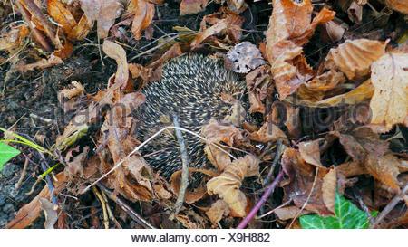 Western hedgehog, European hedgehog (Erinaceus europaeus), waking upt after winter sleep, Germany, North Rhine-Westphalia - Stock Photo