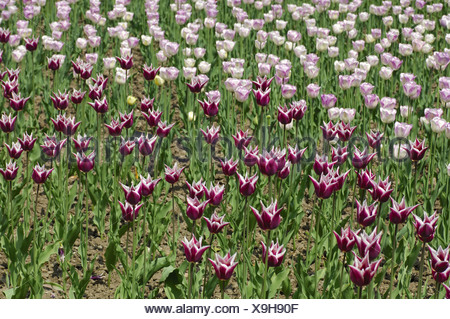 Claudia Tulips, Dutch Tulips - Stock Photo