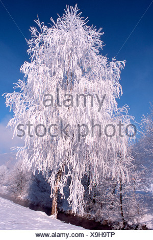 Snow- and frost-covered Silver Birch (Betula pendula) in Schlitters, Zillertal Valley, Tyrol, Austria, Europe - Stock Photo