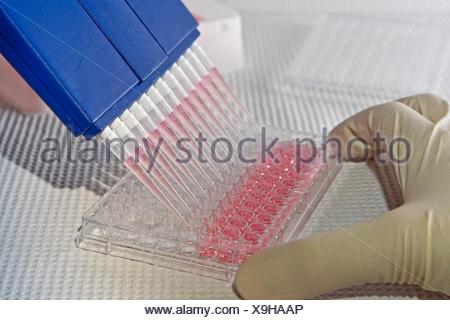 Scientist using blue multi-channel pipet for pipetting a 96 well plate with pink solution on white - Stock Photo