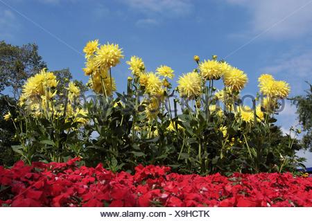 Dahlia and Busy Lizzies (Dahlia hybrida), (Impatiens walleriana) - Stock Photo