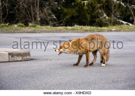 Red fox with Candy, Lower Saxony, Germany, (Vulpes vulpes) - Stock Photo