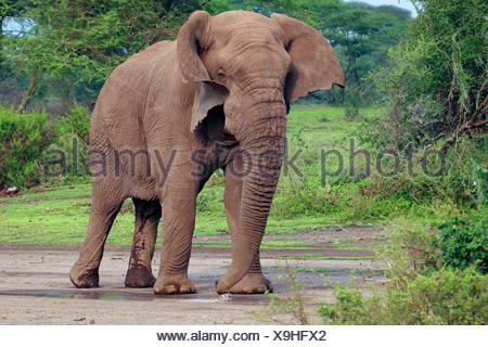 African elephant (Loxodonta africana), bull elephant without tusks in the Serengeti, Tanzania, Serengeti National Park - Stock Photo