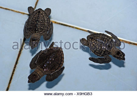 Olive ridley sea turtles (Lepidochelys olivacea) hatchlings, approx. one month, breeding station, Bali, Indonesia - Stock Photo